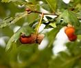 Thumb_acorns-2795393_1280